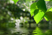 Green Leaves Reflecting In Water — Stock Photo