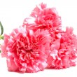 Three pink carnations — Stock Photo #1218925