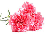 Three pink carnations — Stock Photo