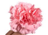 Carnation — Stock Photo