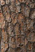 Bark of pine tree — Stock Photo