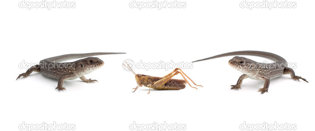 Two lizards and a grasshopper isolated on white background — Stock Photo #1099946