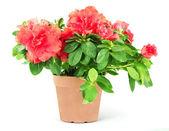 Flower in a flowerpot — Stock Photo