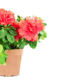 Flower in a flowerpot — Stock Photo