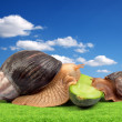 Two brown snails — Stock Photo #1591444