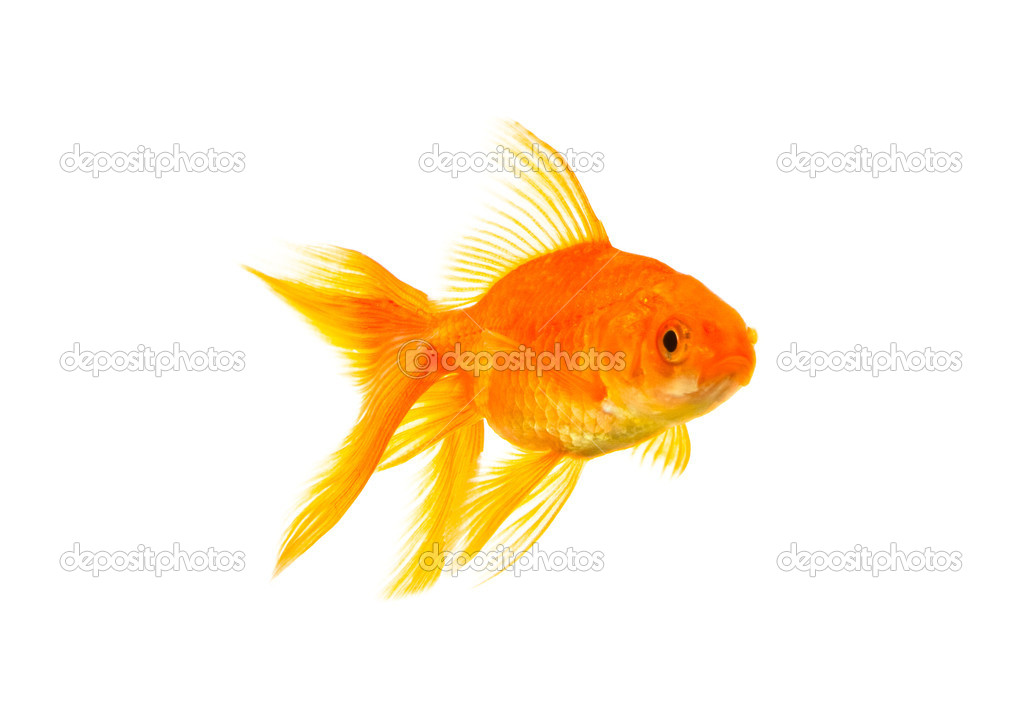 Gold fish isolated on a white background  Photo #1916569