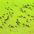 Cows herd. - Foto de Stock  