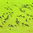 Cows herd. - Stock Photo