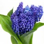 Blue flowers. — Stock Photo