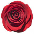 Royalty-Free Stock Photo: Rose.