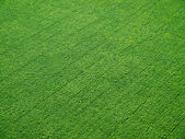 Green field on rows from above. — Stock Photo