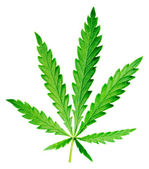 Hemp leaf. — Stock Photo
