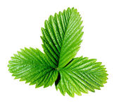 Strawberry leaf. — Stock Photo