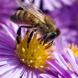 Bee. — Stock Photo