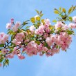 Blossomed cherry. — Stock Photo