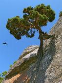 Pine. — Stock Photo
