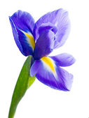 Blue iris. — Stock Photo