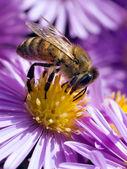 пчела. — Стоковое фото