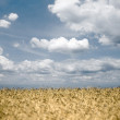 Wheat field on sky background. — Stock Photo