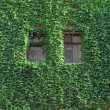 Ivy on wall. - Stock fotografie