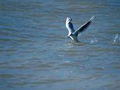 Seagull. — Stock Photo