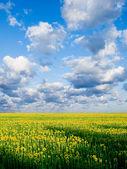 Slunečnicová pole. — Stock fotografie