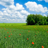Red poppy on green field. — Stock Photo