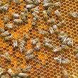 Stock Photo: Bees.