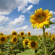 Sunflower — Stockfoto #1104622