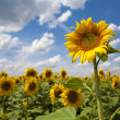 Sunflower — Stock Photo #1104622