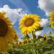 Three sunflowers — Stock Photo