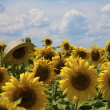 Sunflower with a wicker hat — Stock Photo