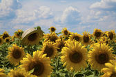 Sunflower with a wicker hat — ストック写真