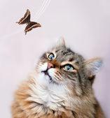 Shorthair kitty — Stock Photo