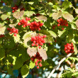 Clusters of berries — Stock Photo