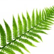 Fern  leaf - Stok fotoraf