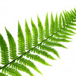 Foto Stock: Fern leaf