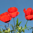 Stock Photo: Red flowers against blue sky