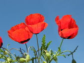 Red flowers against blue sky — Stock Photo
