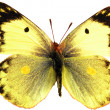 butterfly isolated — Stock Photo #1126700
