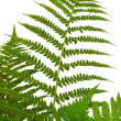 Leaf of fern — Stock Photo #1153176