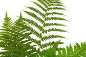 Leaf of fern — Stock Photo