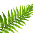 Stock Photo: Leaf of fern