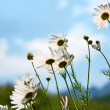 Meadow of flower  with chamomile — Stock Photo