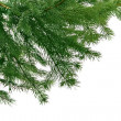 Green branch of  fir-tree for  christma - Stock Photo