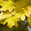 Autumn leafs of maple  against sun — Stock Photo