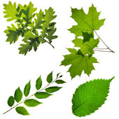 Leafs of tree — Stock Photo