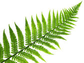 Leaf of fern — Stock Photo