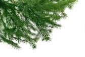 Green branch of fir-tree for christma — Stock Photo