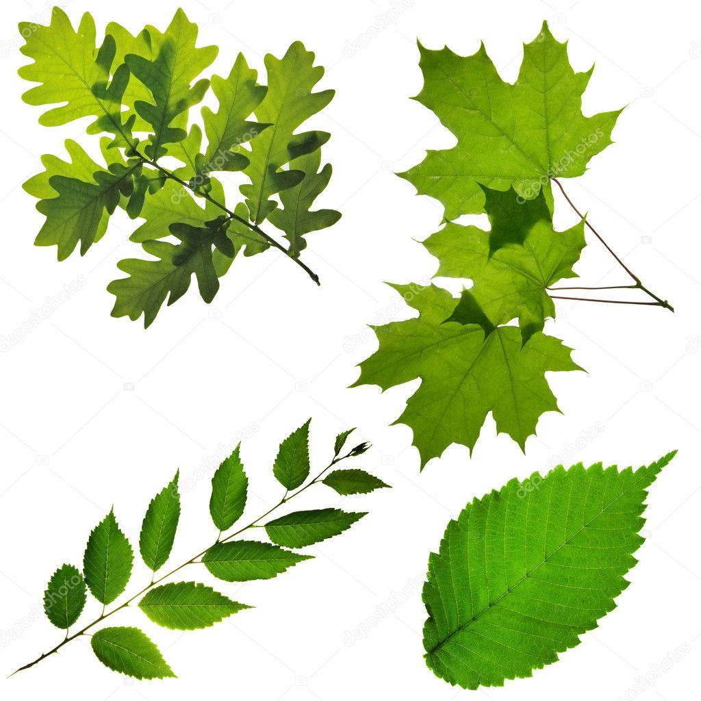 какие у березы листья осенью